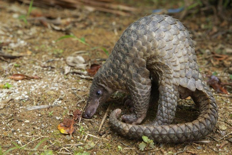 Pangolins are often hunted for their scales.