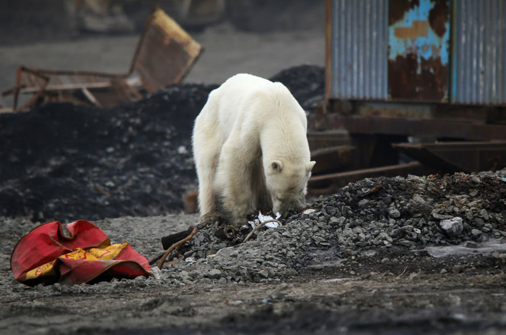 Hungry Polar Bear Spotted Wandering Into Russian City Looking For Food