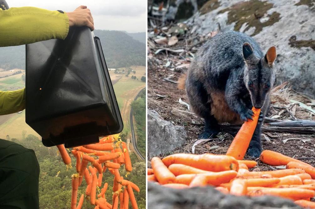 Australia Is Feeding Wallabies Affected By The Bushfires By Dropping Carrots From The Sky