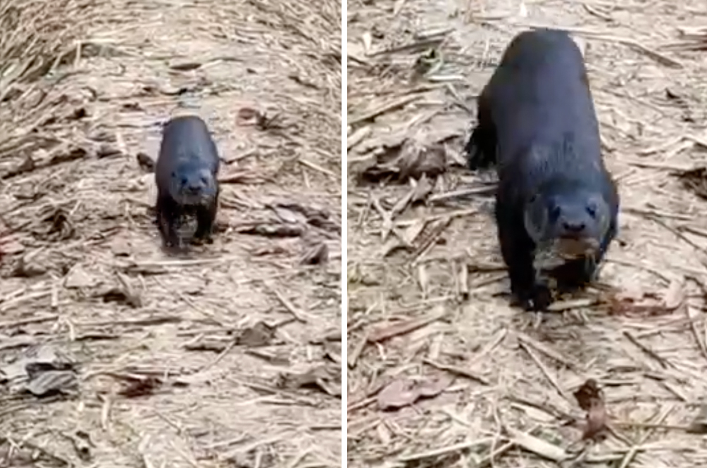 Endangered, Almost Extinct Hairy-Nosed Otter Spotted In Sabah's Wildlife Sanctuary