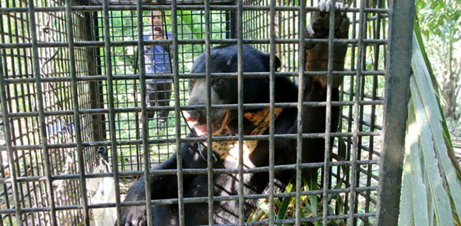 Sun Bears Seen Roaming In Terengganu Days After Tigers