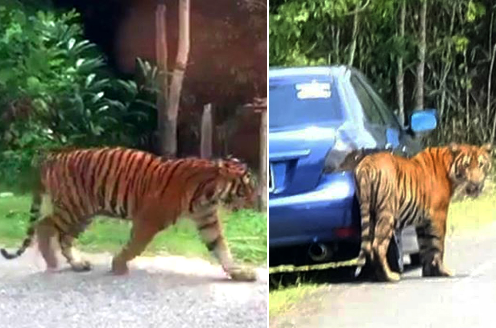 Perhilitan Warns Malaysians To Not Take Selfies With Stray Tigers