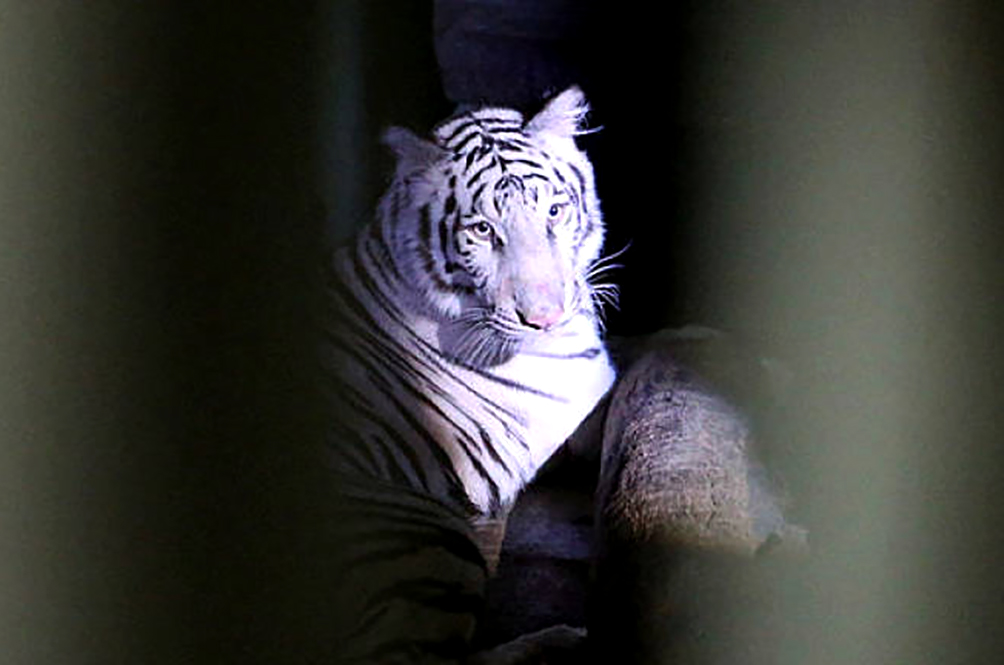 Zoo Melaka Is Set To Get A White Bengal Tiger Named Elsa