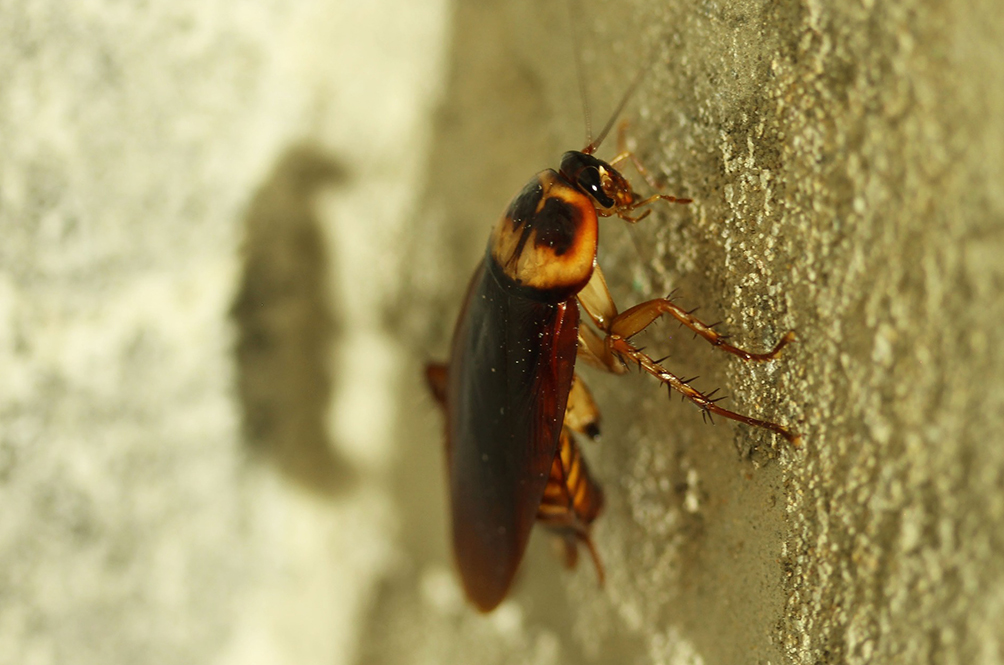 We're Doomed! Cockroaches Are Reportedly Becoming Immune To Insecticides
