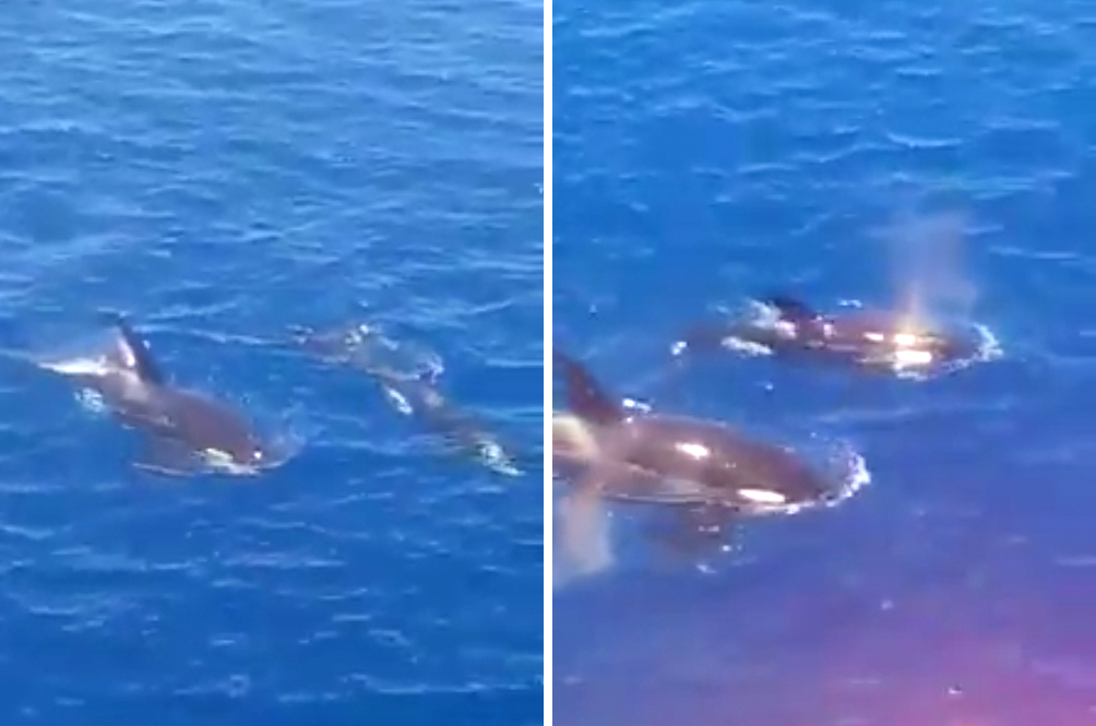 A Pair Of Orca Whales Spotted In Terengganu Waters For The First Time