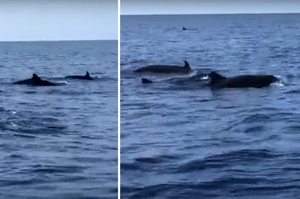 After Orcas, Tigers And Sun Bears, Short-Finned Pilot Whales Also Spotted In Terengganu