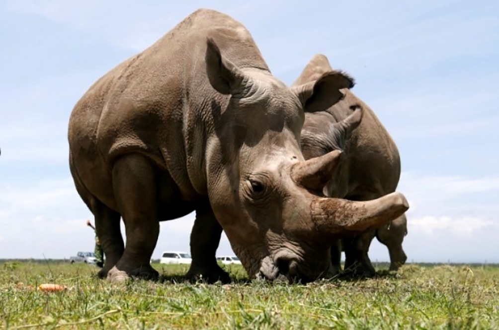 7 Eggs From The World's Last Two Northern White Rhinos Fertilised