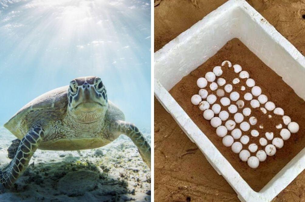 Hundreds Of Turtle Eggs Found On Port Dickson's Empty Beaches