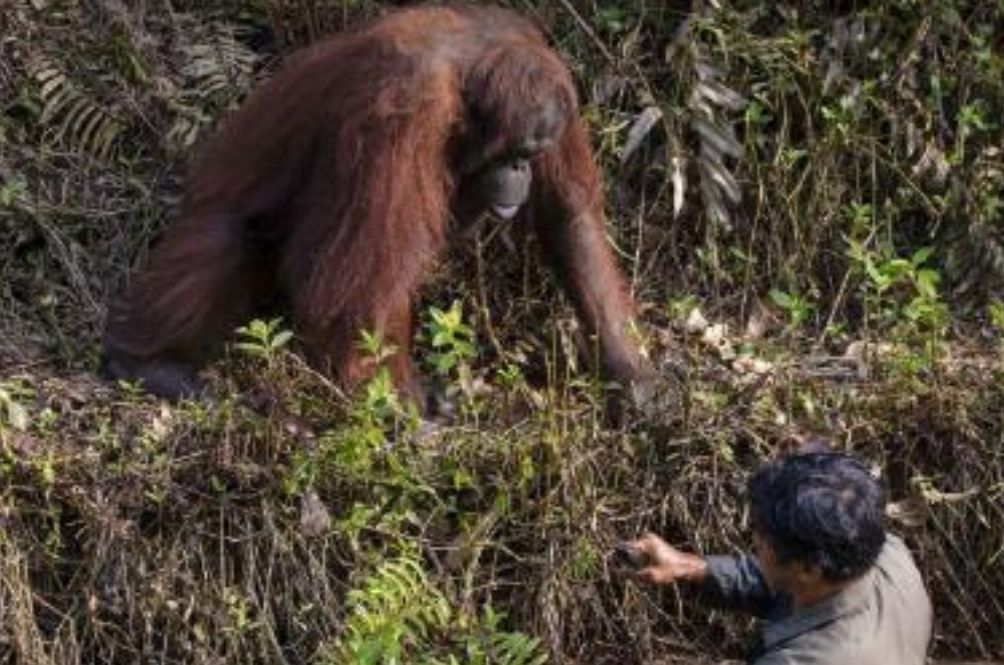 Amateur Photographer Captures Amazing Photo Of Orangutan Offering A Helping Hand To A Man In Need