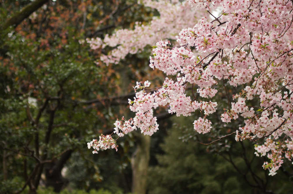 What's the Big Deal About Cherry Blossoms?