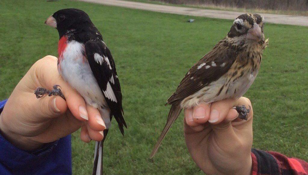 Male and female Rose-breasted Grosbeaks