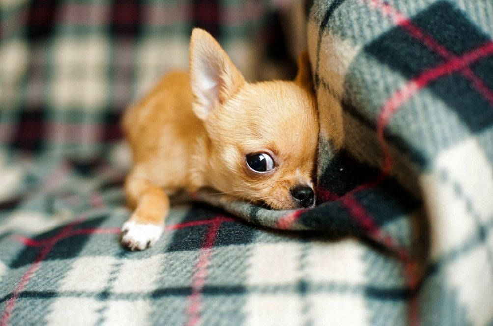 British Woman Claims That Her Pet Chihuahua Accidentally Help Her Discover She Had Cancer