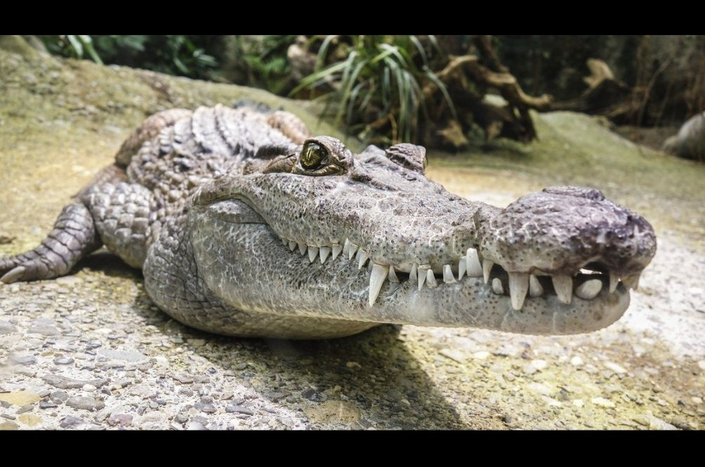 A Crocodile Scaring Folks At An Indonesian Vaccine Center Belongs To A 15-Year-Old Boy