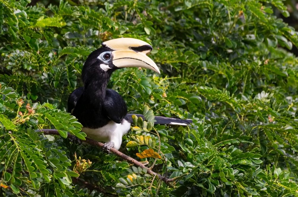 Did You Guys Know That Hornbills Are An Endangered Species Too?