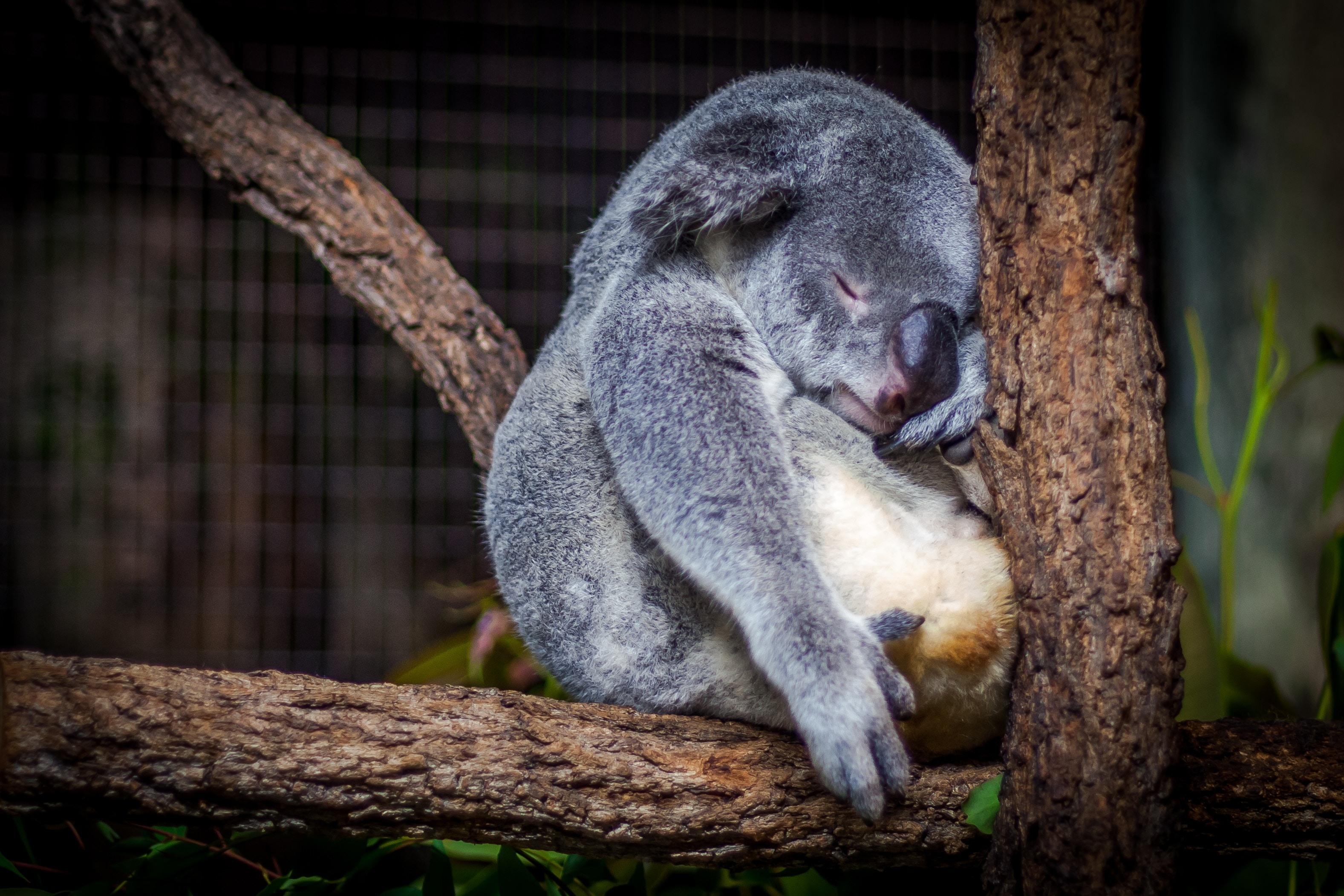 There are not enough adult koalas to breed another generation