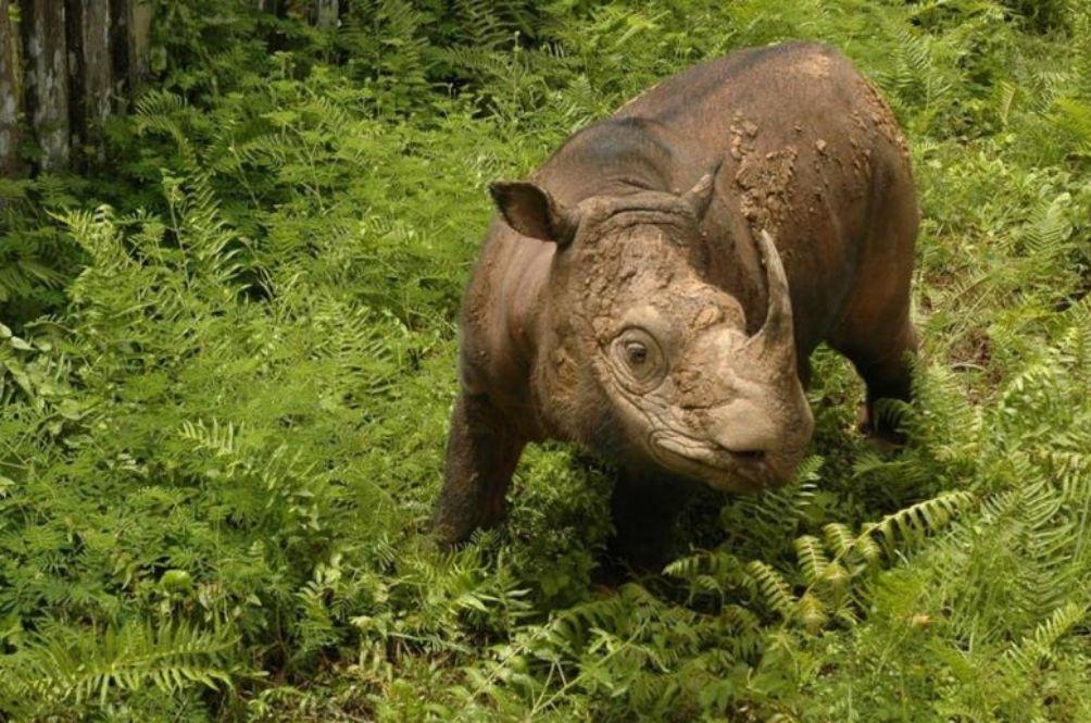 Goodbye, Tam: Malaysia's Last Male Sumatran Rhino Dies