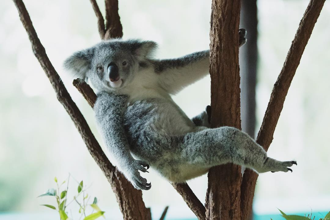 Look at that koala posing for the camera. Work it, koala!