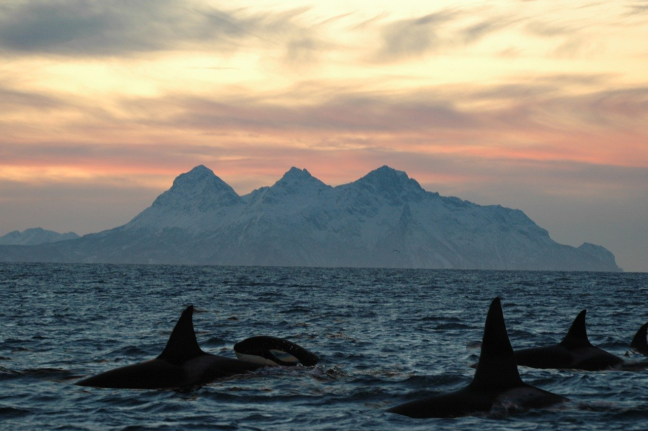 Orcas often travel in groups