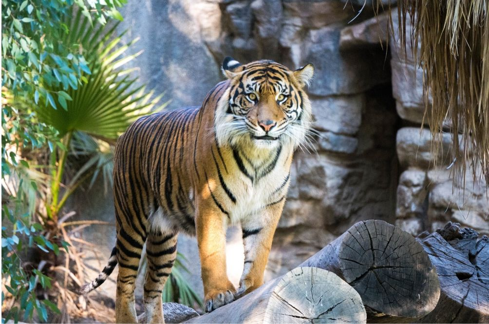 Malayan Tiger In US Zoo Tests Positive For COVID-19