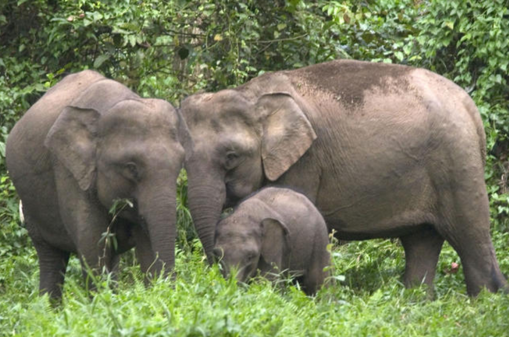Pygmy Elephant The Latest To Die Due To Human Actions